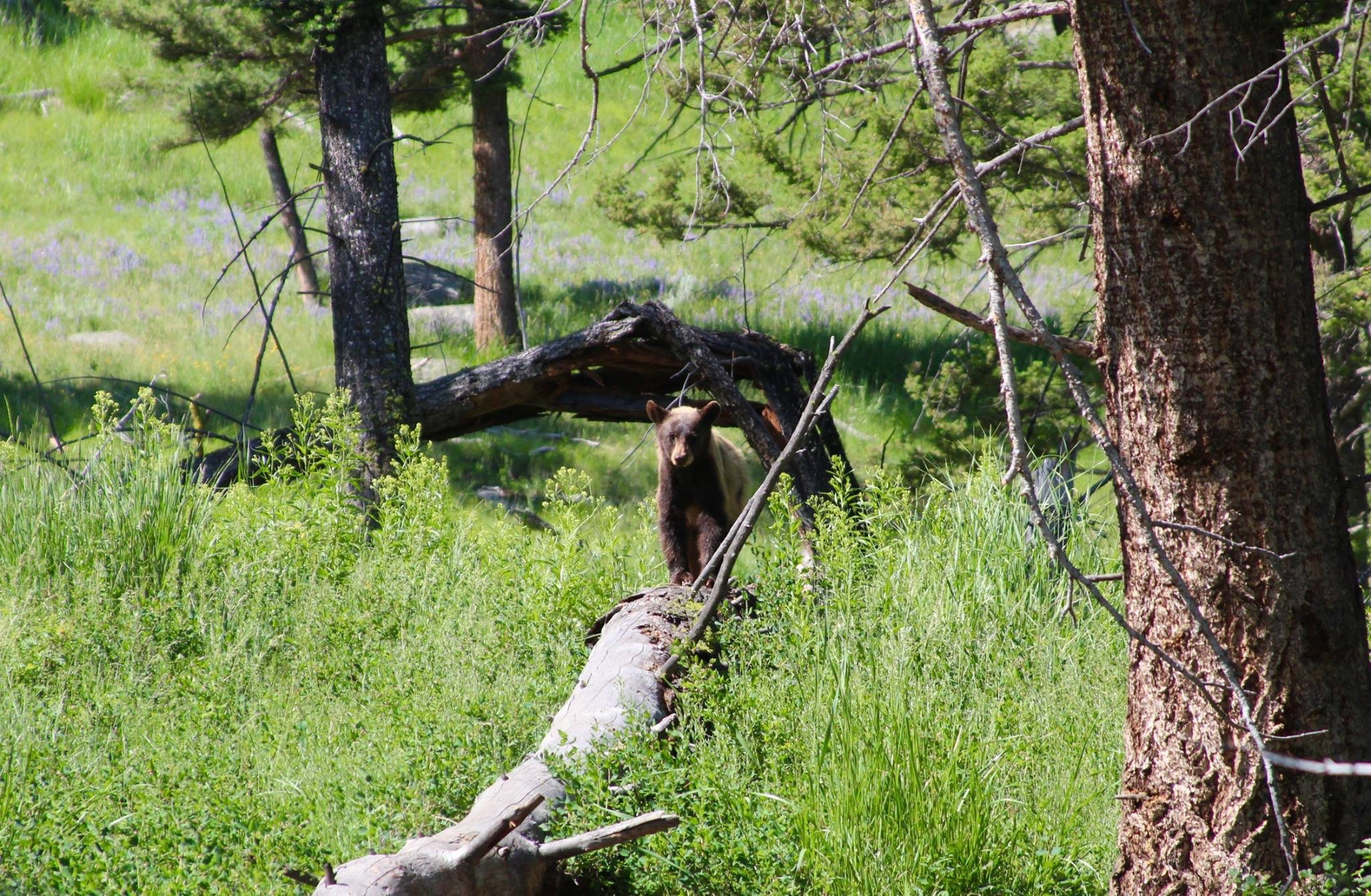 Blackbear on Dunraven Pass by Caitlyn Murray