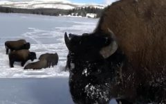 Does Snowmobiling Tame the Wilds of Yellowstone?