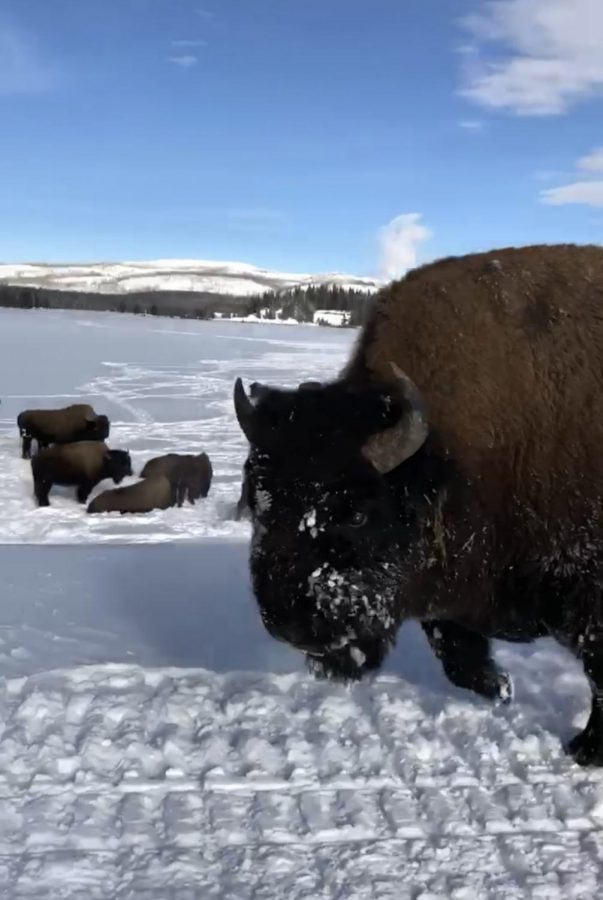 Does+Snowmobiling+Tame+the+Wilds+of+Yellowstone%3F